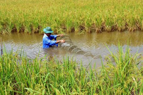 Mô hình trồng lúa nuôi tôm.